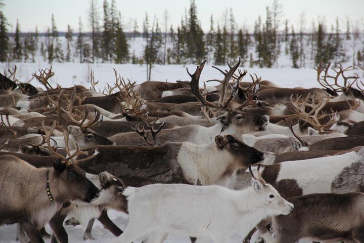 Власти Ямала помогут оленеводам в непогоду