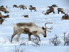 На празднике оленеводов в Амурской области арестовали оленей
