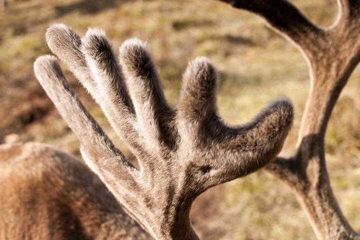 На Съезде оленеводов предложили легализовать рынок оленьих пантов