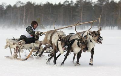 В Югре предложили возродить гонки на оленьих упряжках