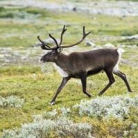 Северный олень может войти в список редких животных