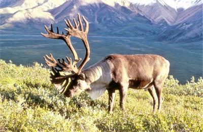 На Ямале возбудили уголовное дело из-за охоты на дикого северного оленя