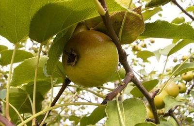 Адыгские традиции садоводства вспомнили в День черкесской груши