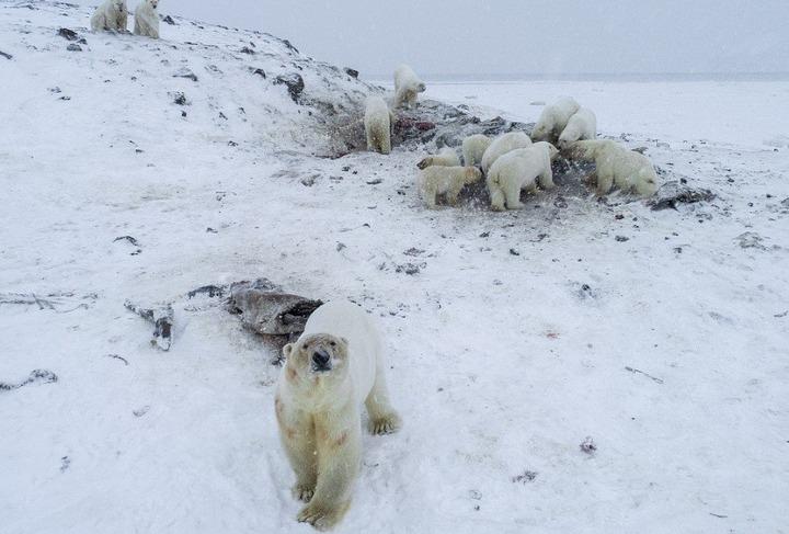 Национальное чукотское село окружили белые медведи