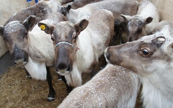 Якутские эвенки передали оленей сахалинским уйльта для поддержания традиционного образа жизни