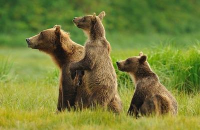 Ямальский оленевод отбился палкой от трех медведей