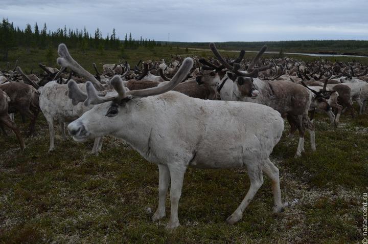 Туристов призывают отказаться от посещения стойбищ оленеводов во время пандемии