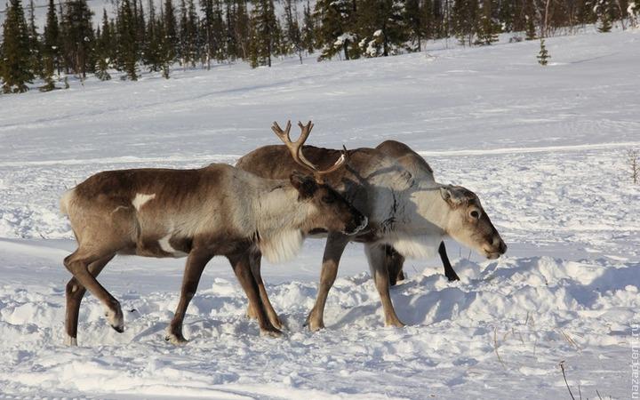 Российские и чешские ученые отправятся на Ямал для изучения костей оленя