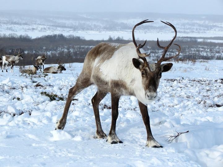 СМИ сообщили о массовом убийстве оленей на севере Сахалина