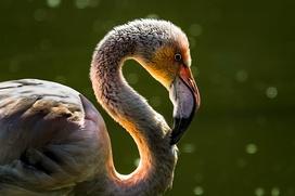 Якутские оленеводы спасли отбившегося от стаи фламинго