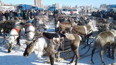 Из-за теплой зимы в Якутии поголовье северных оленей сократилось почти на 10 тысяч голов