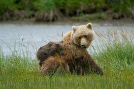 Члены СПЧ заступились за хантыйских охотников, убивших медведицу с медвежатами