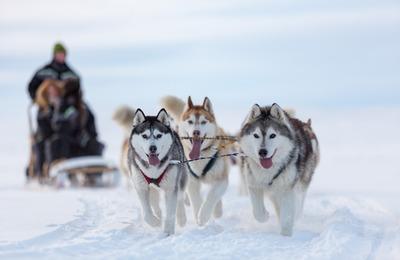 """Участники """"Берингии-2018"""" проедут на собаках более двух тысяч километров"""