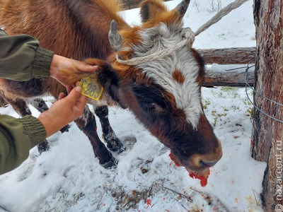 Коров воспроизводимой якутской породы расстреляли на предприятии у села Таастаах