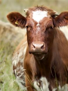 Сбитая корова чуть не довела до драки осетин и ингушей в Пригородном районе Осетии