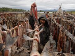 В Хабаровском крае предложили не давать коренным народам льготы на рыболовство для продажи