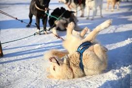 """Маршрут гонки на собачьих упряжках """"Надежда"""" сократили вдвое из-за погоды"""