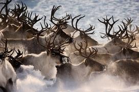 В Коми намерены легализовать оленеводов-частников