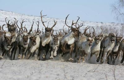 Ненецким оленеводам выделили более 50 млн рублей