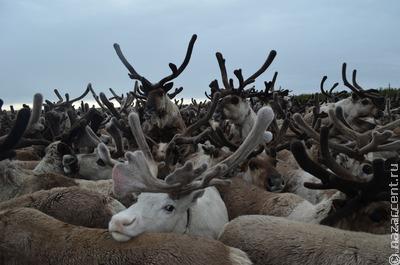 На Ямале изучат генофонд северных оленей