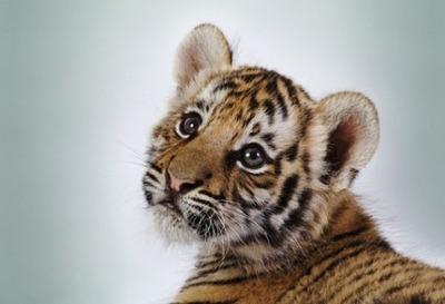 Удэгейцы помогут сохранить амурского тигра