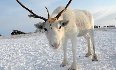 Росгидромет: Потепление в Арктике угрожает оленеводам