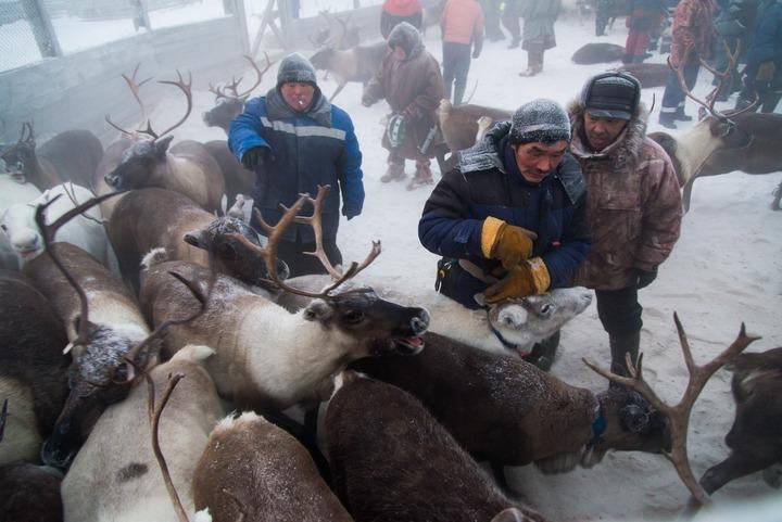 Ненецких оленеводов поддержат на 244 млн рублей