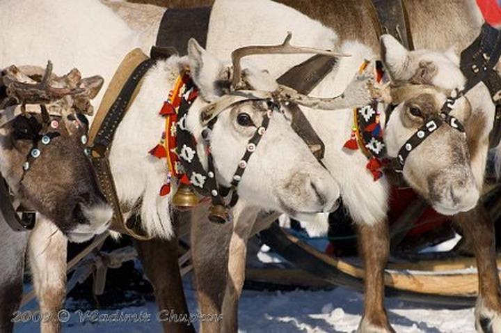 День оленевода отметят в Мурманской области