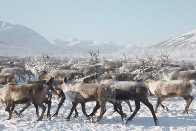 Ямальским кочевникам выдадут 36 млн рублей на покупку оленей после сибирской язвы