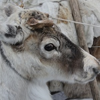 Хроники оленевода