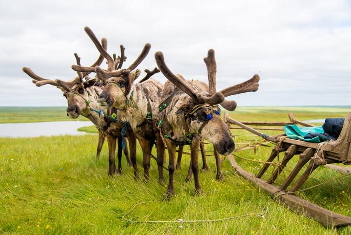 Правительство НАО выделит дополнительные средства на оленеводство