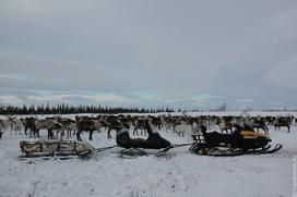 Ученые: На Ямале все больше женщин отказываются кочевать с оленеводами