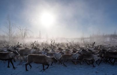 Северобайкальским эвенкам запретили защищать своих оленей от хищников