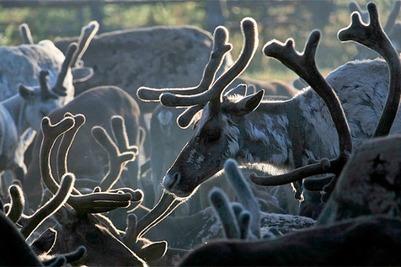 На Ямале предложили разработать систему страхования оленей
