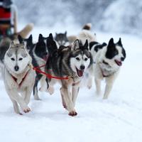 В костромской Нее прошла благотворительная гонка на собачьих упряжках