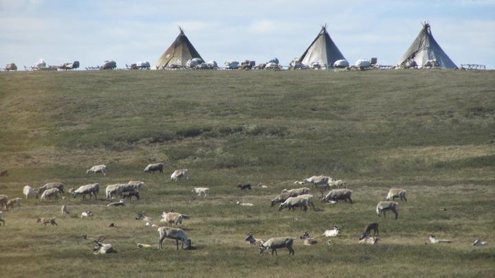На Ямале госпитализировали 32 тундровика из-за сибирской язвы оленей
