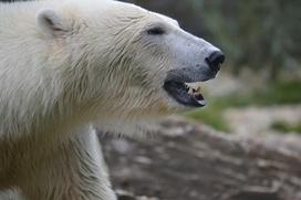 Участника чукотской гонки на собачьих упряжках наградили спецпризом после встречи с белым медведем