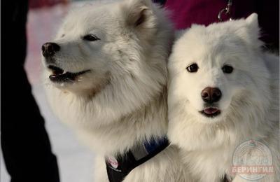 """Открытие гонки на собачьих упряжках """"Берингия"""" прошло на Камчатке"""