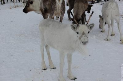 Оленевод с двумя детьми провалился под лед на Ямале