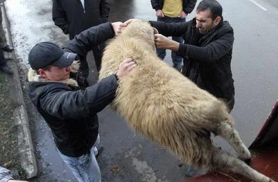 На граждан Узбекистана заведено уголовное дело за забой барана во дворе многоэтажки