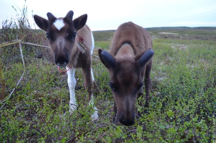 С кооператива в Нарьян-Маре взыскали долг оленеводам почти в 2 миллиона рублей