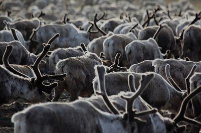 Более 120 млн рублей выделят на вакцинацию ямальских оленей