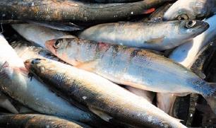 Коренные народы Таймыра предложили выплачивать рыбакам компенсации из-за запрета вылова омуля