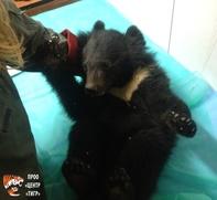 Спасенного в Приморье медвежонка назвали удэгейским именем
