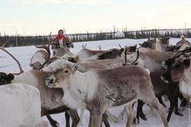 Власти Чукотки заявили о повышении зарплаты оленеводов почти на 18%
