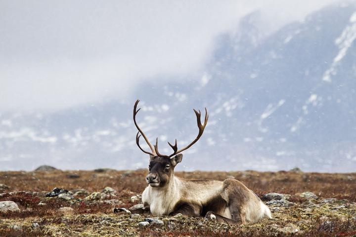 Кочевникам Ямала компенсируют потери от сибирской язвы