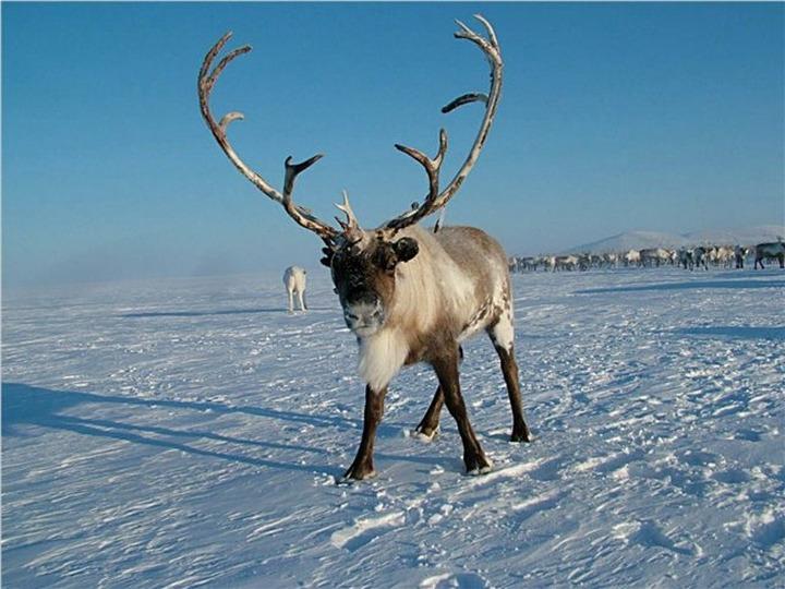 Специалисты обсудят в Мурманске угрозы дикому северному оленю