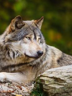 Богатырь в волчьей шкуре