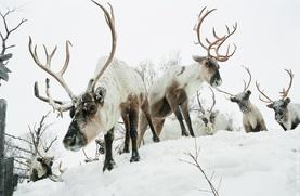 Ямальским оленеводам предложили пасти оленей в лесах