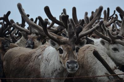 В Якутии прекращено расследование дела о массовом расстреле оленей